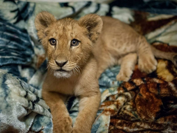 lambert the adopted lion loves his blanket 7 pictures 1 video 2