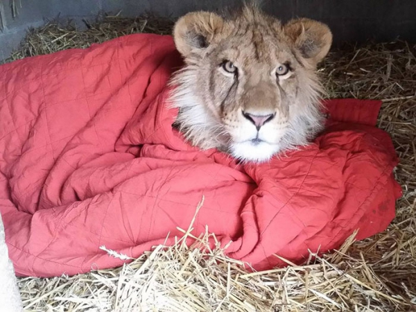 lambert the adopted lion loves his blanket 7 pictures 1 video 3