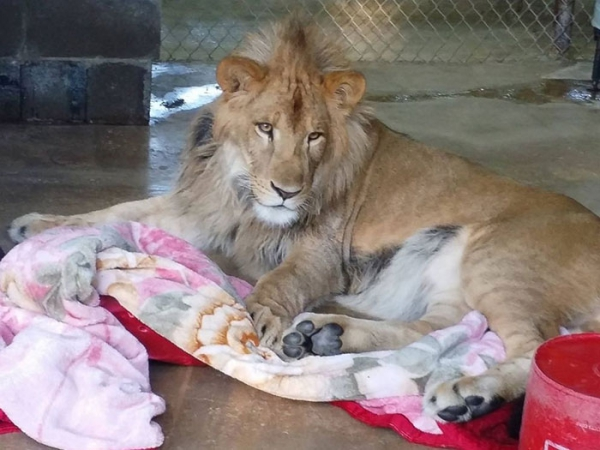 lambert the adopted lion loves his blanket 7 pictures 1 video 5