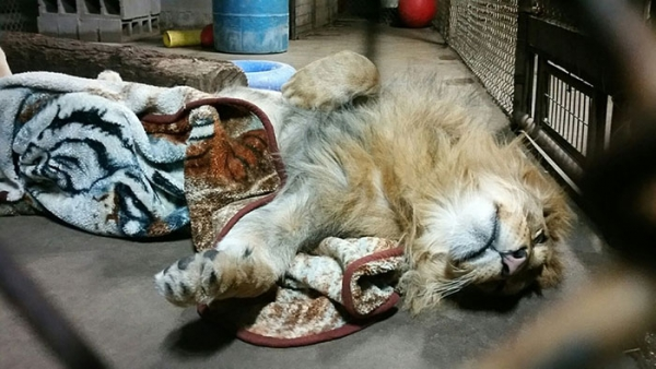 lambert the adopted lion loves his blanket 7 pictures 1 video 6