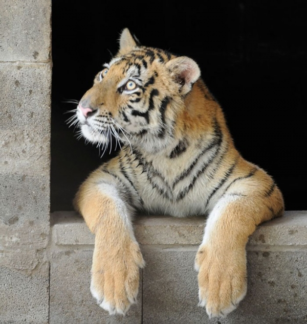 lets thank together the savior of bengal tiger aasha 9 pictures 1
