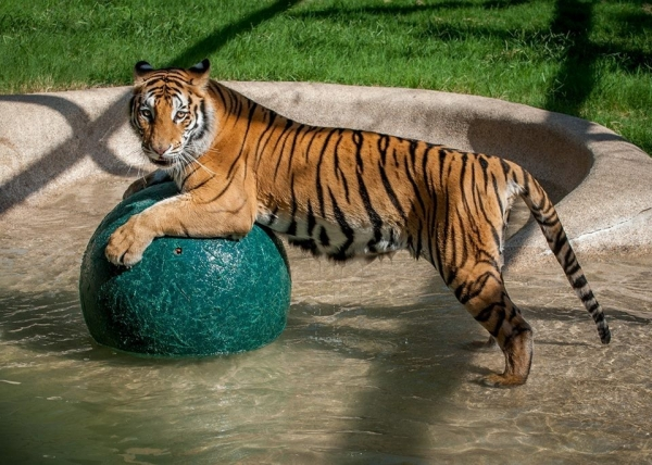 lets thank together the savior of bengal tiger aasha 9 pictures 4