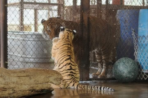 lets thank together the savior of bengal tiger aasha 9 pictures 6