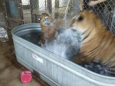 lets thank together the savior of bengal tiger aasha 9 pictures 7