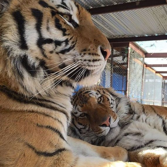lets thank together the savior of bengal tiger aasha 9 pictures 8