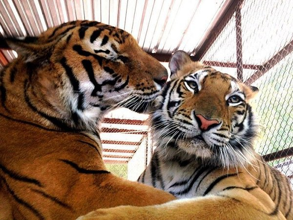 lets thank together the savior of bengal tiger aasha 9 pictures 9