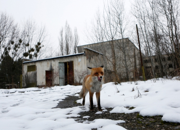 life after chernobyl unique wildlife of the zone 12 pictures 4