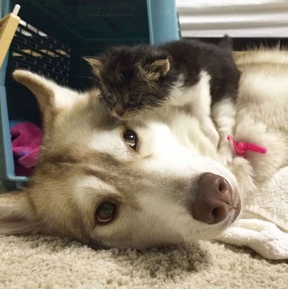 lilo the husky saves 2