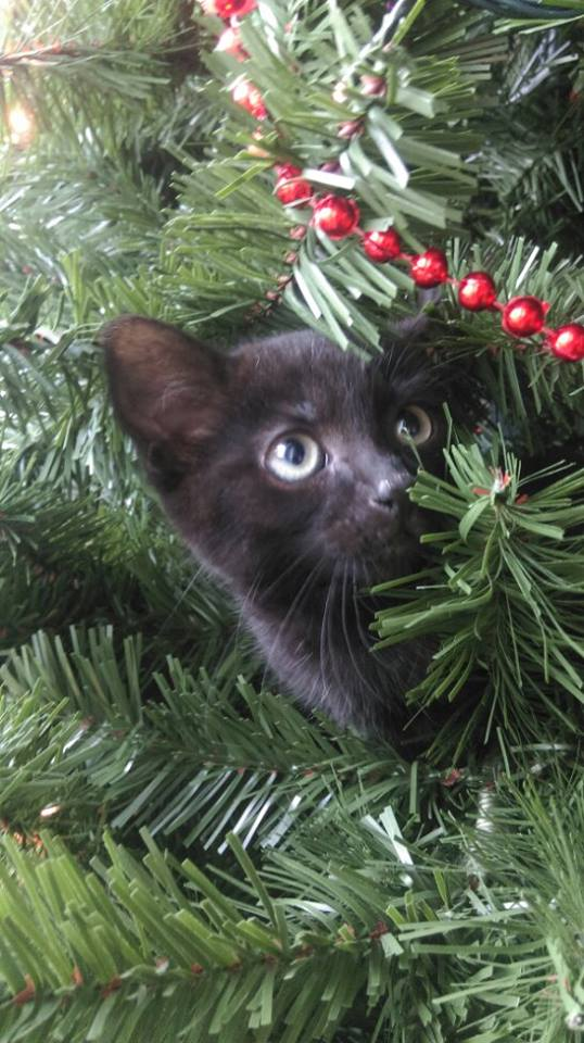 Author: Natalie Chapman, Description: Black cat hidden on christmas tree noticed its target