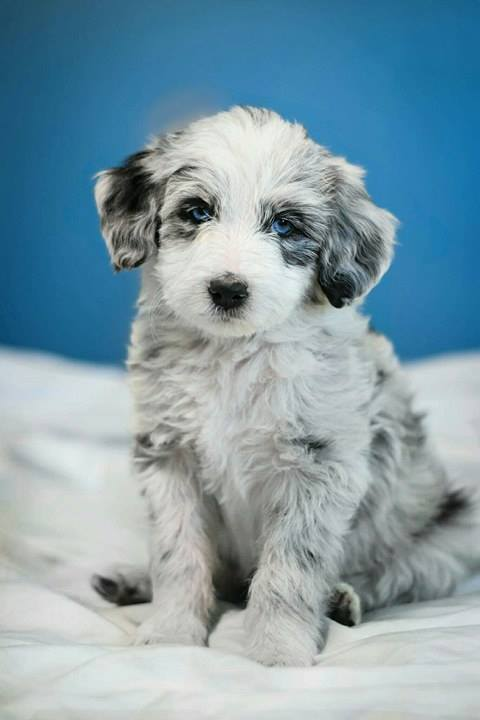 Author: Danielle Dawn, Description: Sweet little white dog with blue eyes