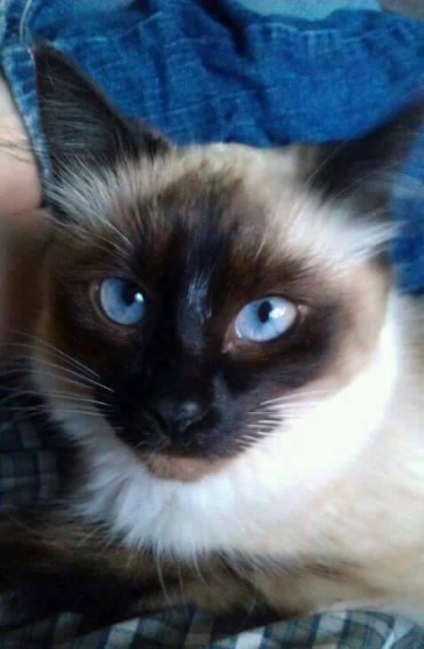 Author: Theresa Erbe-Neuberger, Description: Beautiful cat with blue eyes conquering with it's gaze