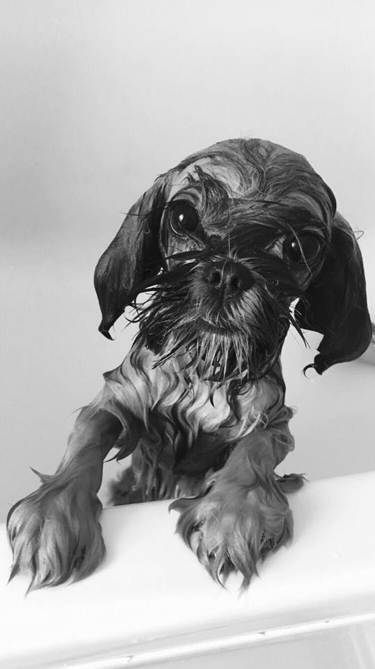 Author: Jamie Kasanczuk, Description: Just bathed dog with special shampoo for dogs will be combed after drying