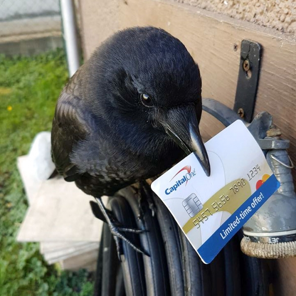 meet canuck a mischievous and friendly crow 12 pictures 6