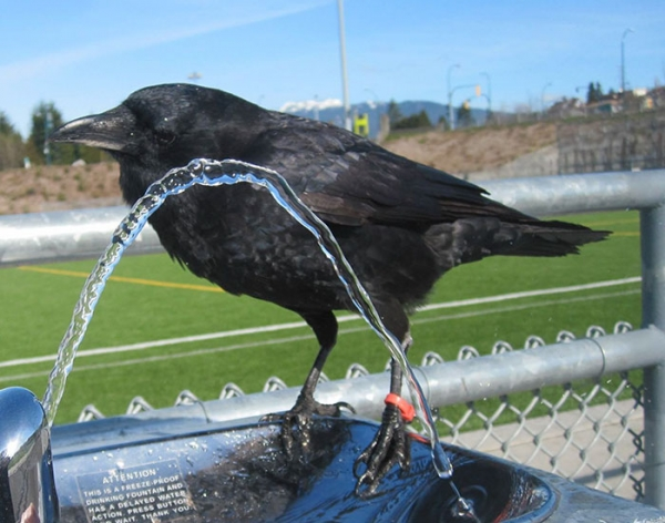 meet canuck a mischievous and friendly crow 12 pictures 8