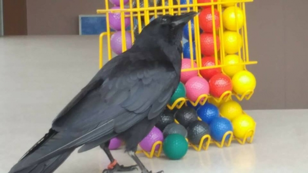 meet canuck a mischievous and friendly crow 12 pictures 9