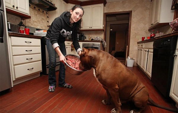 meet hulk one of the largest pitbulls out there 12 pics 1