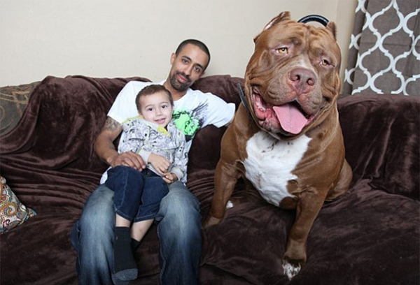 meet hulk one of the largest pitbulls out there 12 pics 11