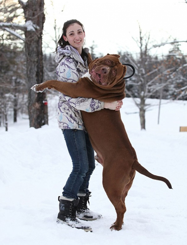 meet hulk one of the largest pitbulls out there 12 pics 12
