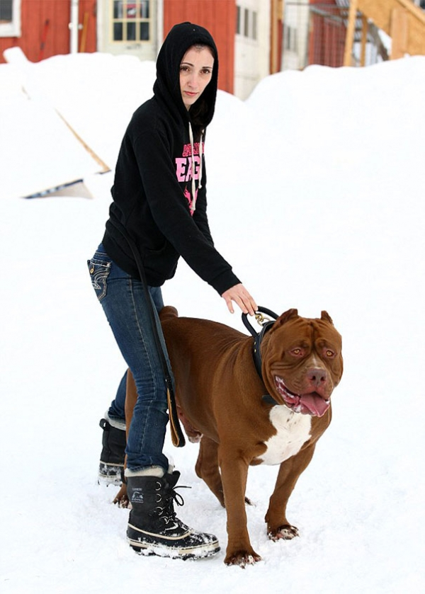 meet hulk one of the largest pitbulls out there 12 pics 3