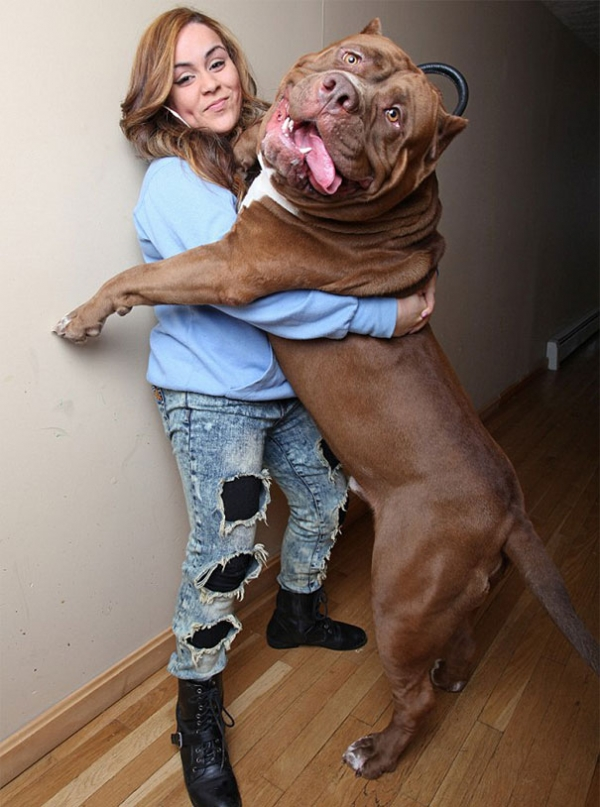 meet hulk one of the largest pitbulls out there 12 pics 7