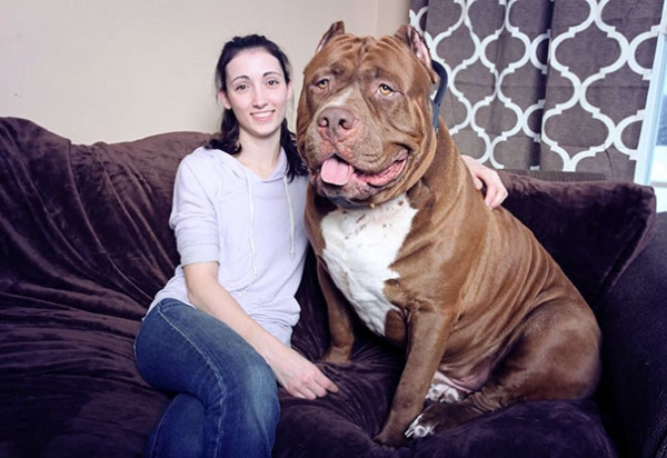 meet hulk one of the largest pitbulls out there 12 pics 8