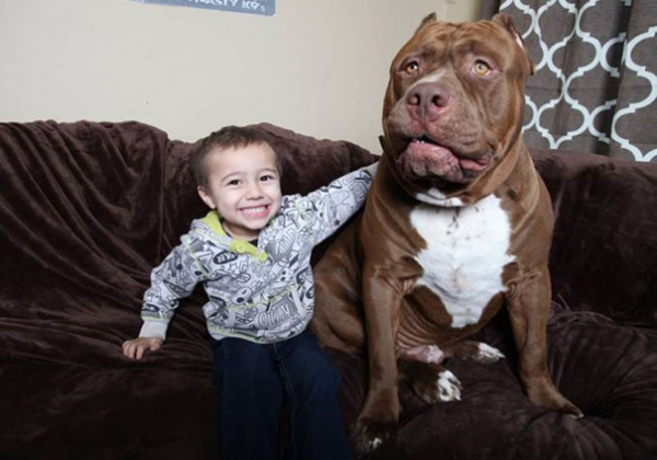 meet hulk one of the largest pitbulls out there 12 pics 9