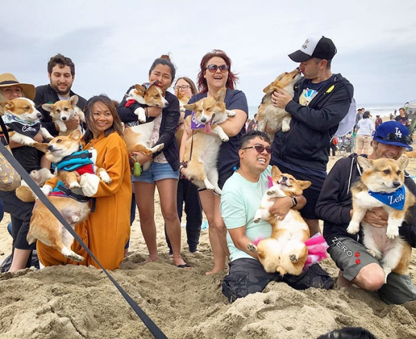 most adorable beach event featuring 600 corgis corgchella 17 pictures 1