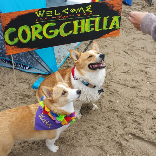 most adorable beach event featuring 600 corgis corgchella 17 pictures 13