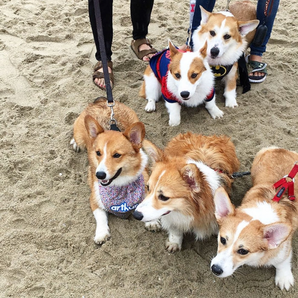 most adorable beach event featuring 600 corgis corgchella 17 pictures 15