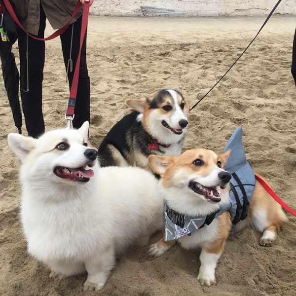 most adorable beach event featuring 600 corgis corgchella 17 pictures 16