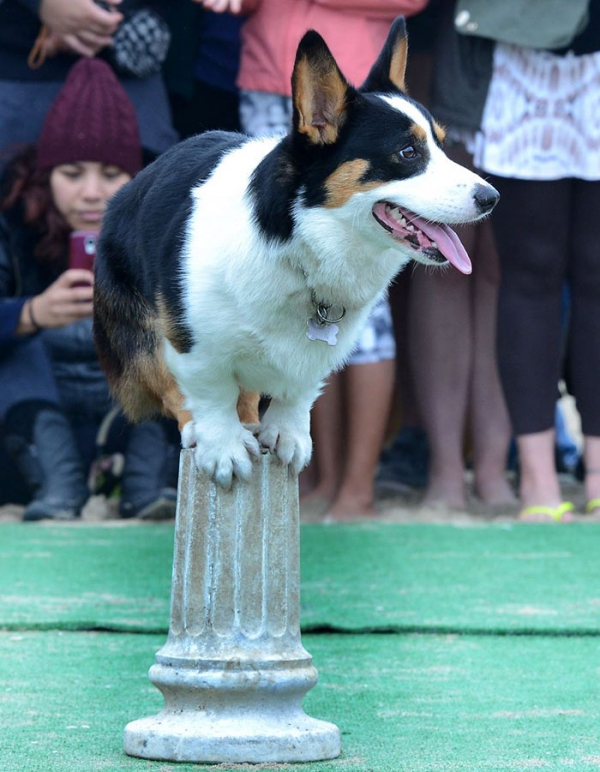 most adorable beach event featuring 600 corgis corgchella 17 pictures 3