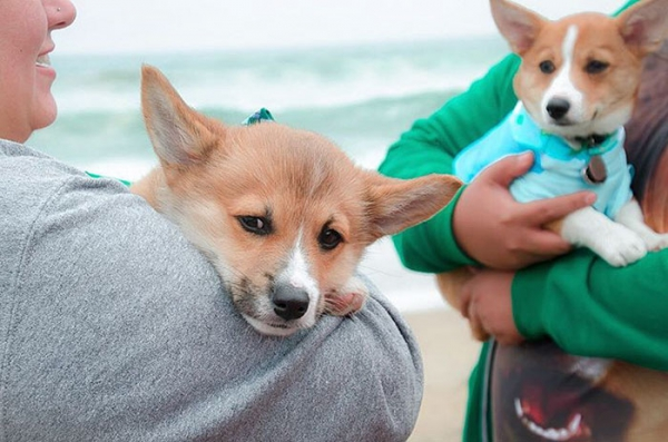 most adorable beach event featuring 600 corgis corgchella 17 pictures 4