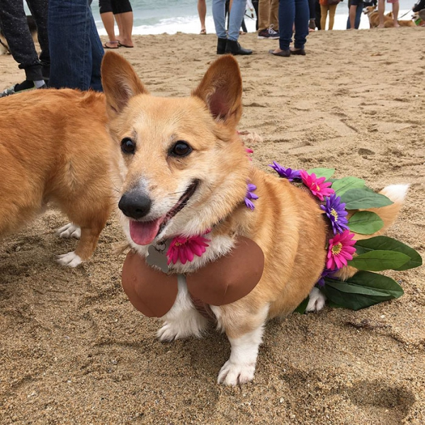 most adorable beach event featuring 600 corgis corgchella 17 pictures 5