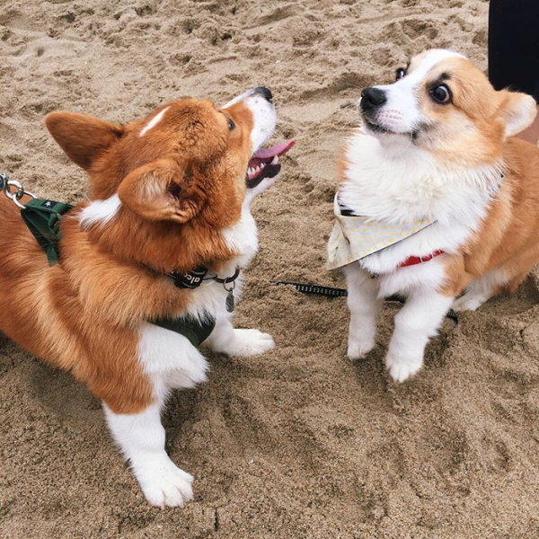 most adorable beach event featuring 600 corgis corgchella 17 pictures 6