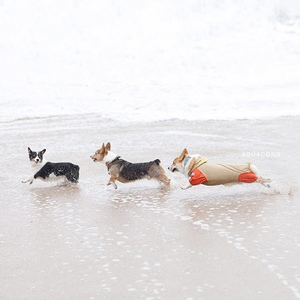 most adorable beach event featuring 600 corgis corgchella 17 pictures 7