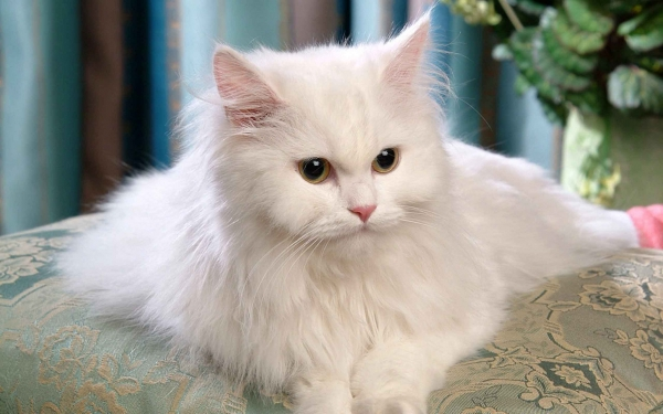 most popular and among the most lovable cat breeds 11 pictures 10