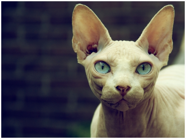 most popular and among the most lovable cat breeds 11 pictures 3