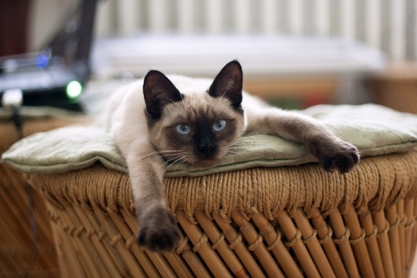 most popular and among the most lovable cat breeds 11 pictures 4