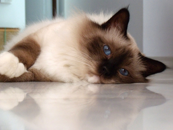 most popular and among the most lovable cat breeds 11 pictures 8