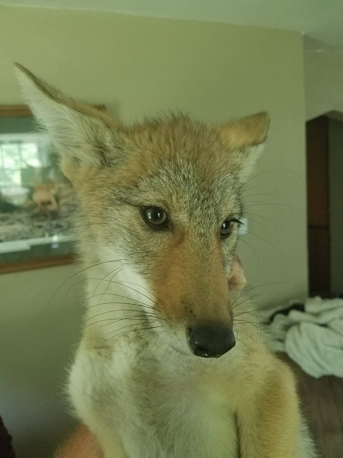 moving story the cuttest little coyote gemma 11 photos 11