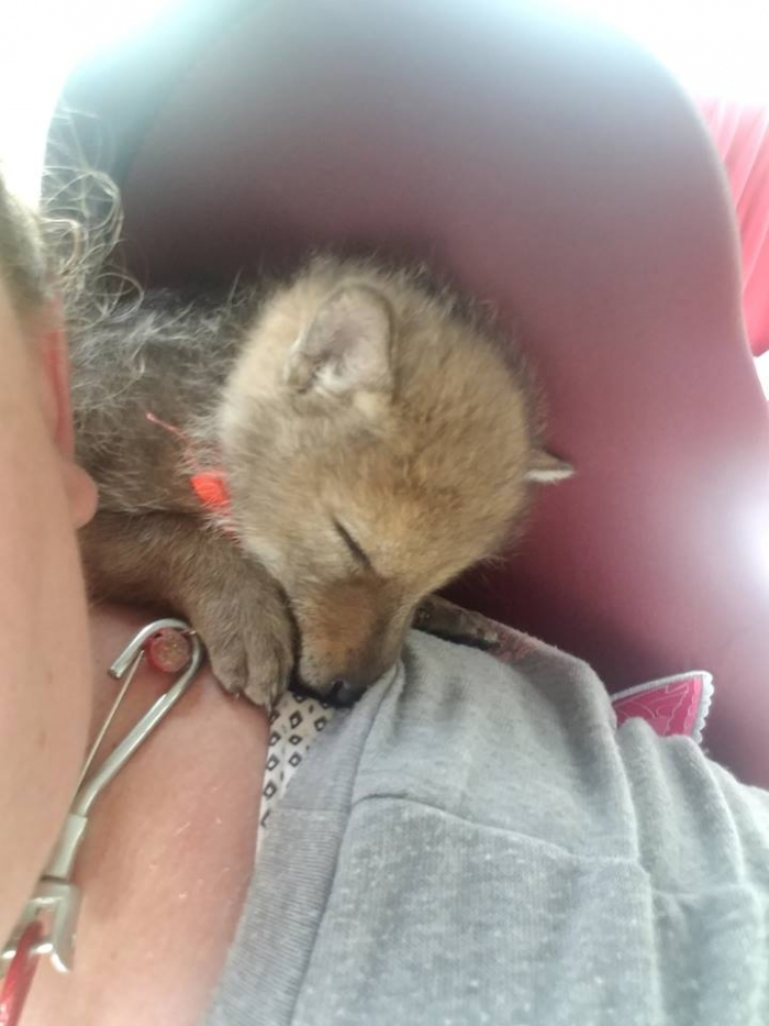 moving story the cuttest little coyote gemma 11 photos 6