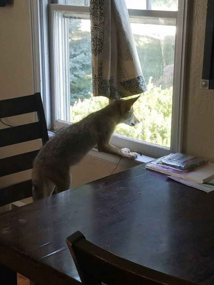 moving story the cuttest little coyote gemma 11 photos 7