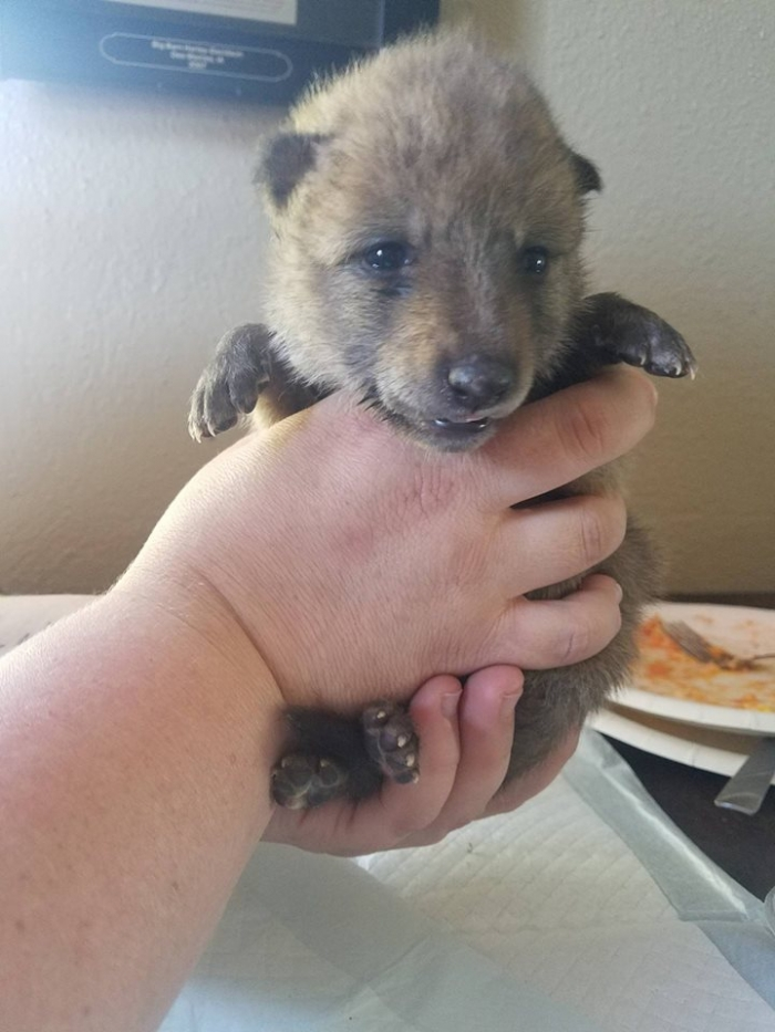 moving story the cuttest little coyote gemma 11 photos 8