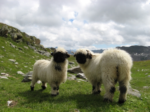 next time you count sheep to fall asleep think of valais blacknose sheep 11 pictures 1