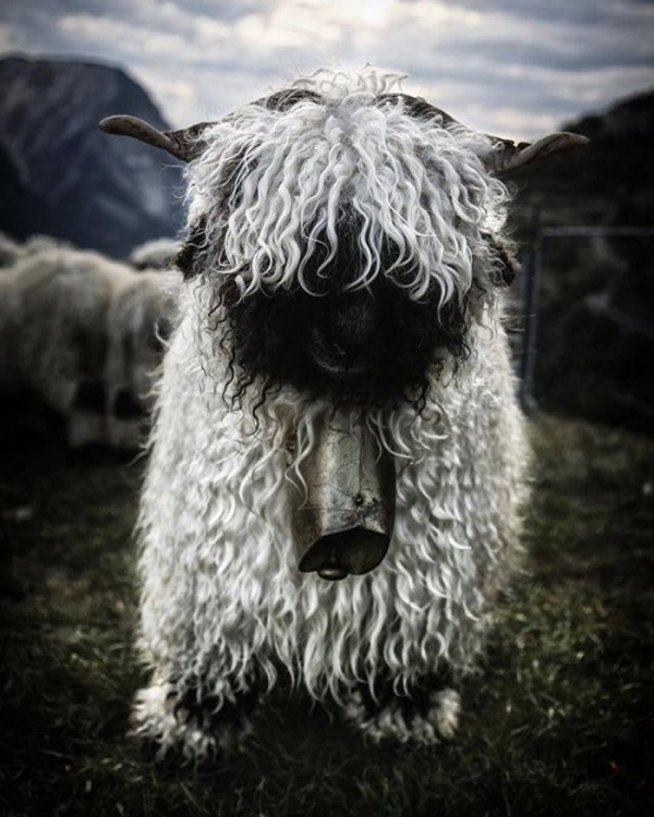 next time you count sheep to fall asleep think of valais blacknose sheep 11 pictures 10