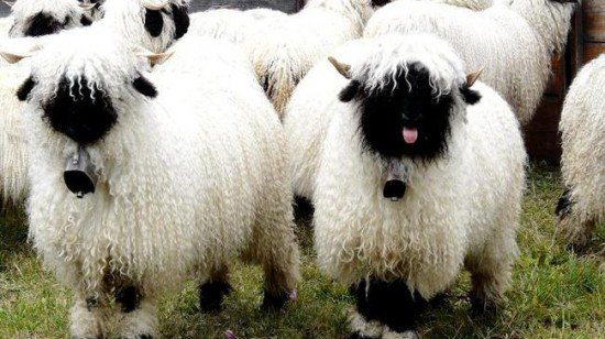 next time you count sheep to fall asleep think of valais blacknose sheep 11 pictures 2