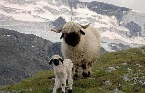 next time you count sheep to fall asleep think of valais blacknose sheep 11 pictures 3