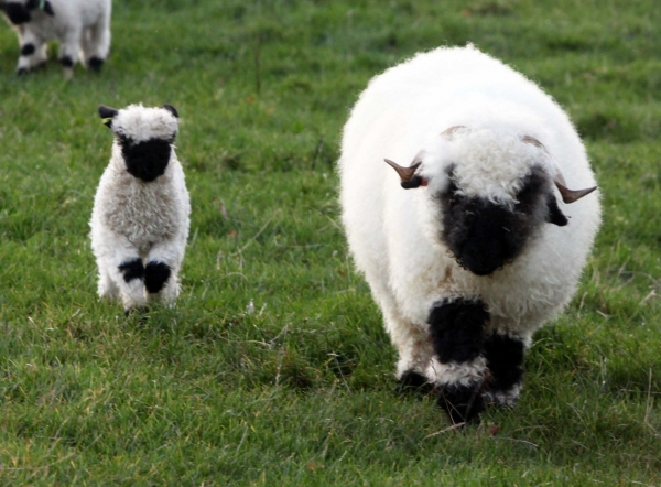 next time you count sheep to fall asleep think of valais blacknose sheep 11 pictures 4