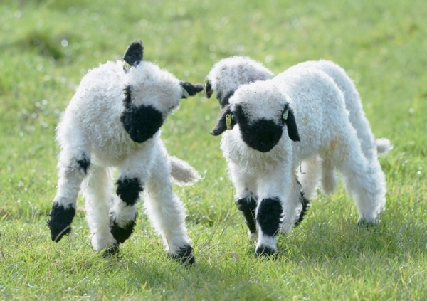 next time you count sheep to fall asleep think of valais blacknose sheep 11 pictures 7