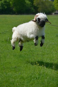 next time you count sheep to fall asleep think of valais blacknose sheep 11 pictures 8